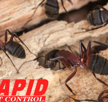 Carpenter Ants Control London Ontario