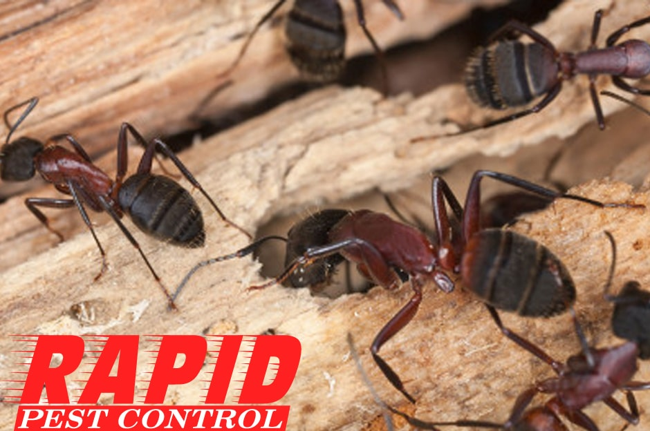 Carpenter Ants Control London Ontario