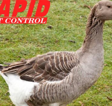 Geese Control London Ontario – Geese removal London Ontario