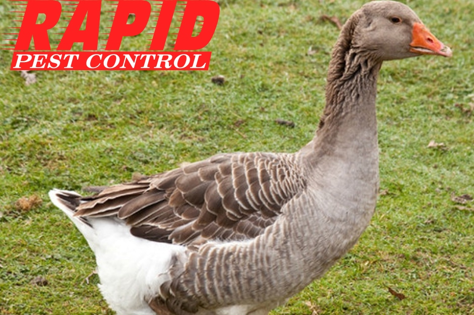 Geese Control London Ontario – Geese removal London Ontario