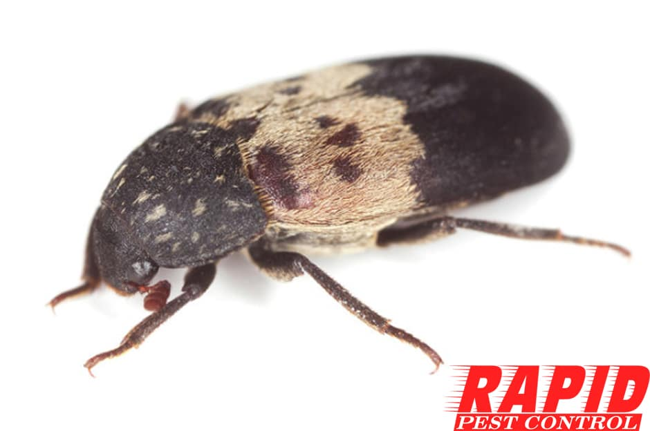 Larder Beetle Control London Ontario – Larder Beetle Removal London Ontario