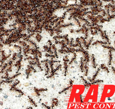 Pavement Ants Control London Ontario – Pavement Ants Removal London Ontario