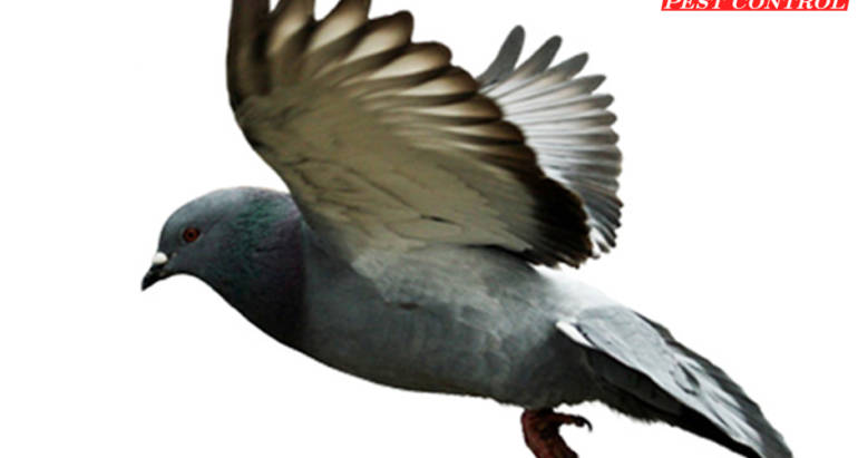 Pigeon Control London Ontario – Bird Control London Ontario