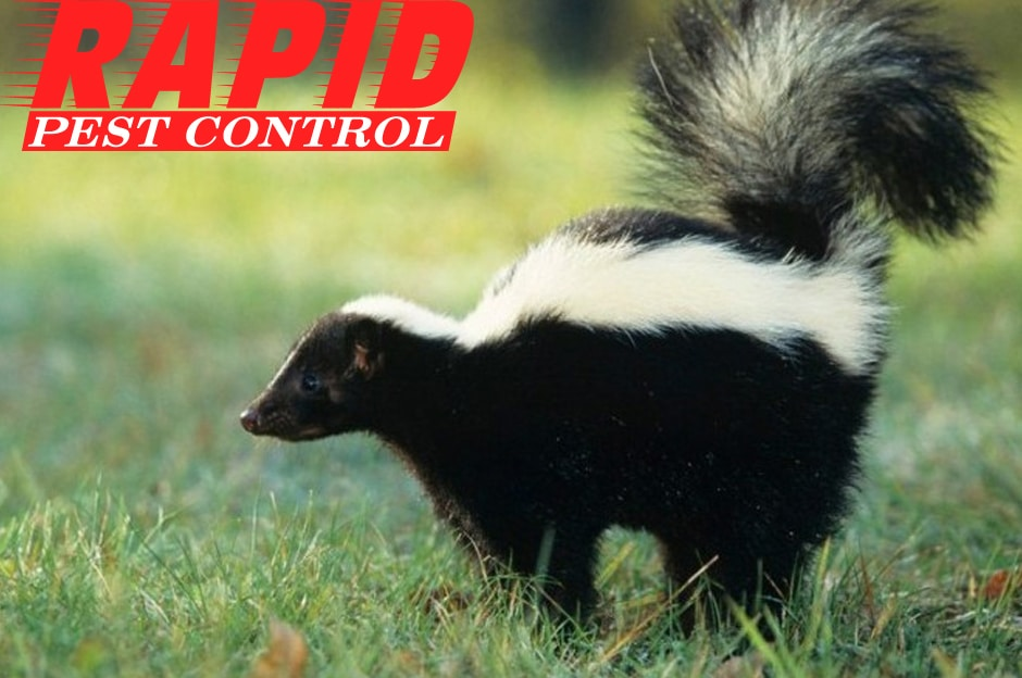 Skunk Control London Ontario – Professional Wildlife Removal London ON