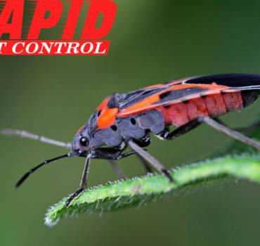 Boxelder Bug Control London Ontario