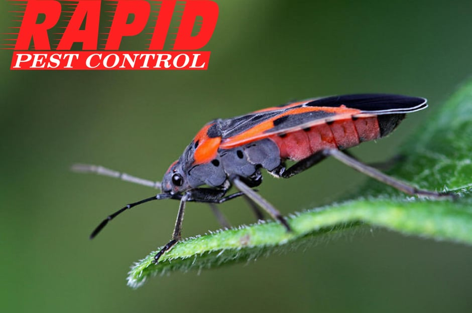 Boxelder Bug Control London Ontario
