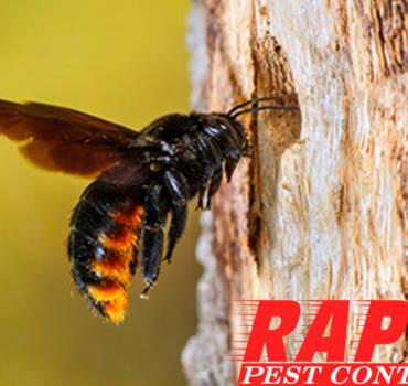 Carpenter Bee Control London Ontario