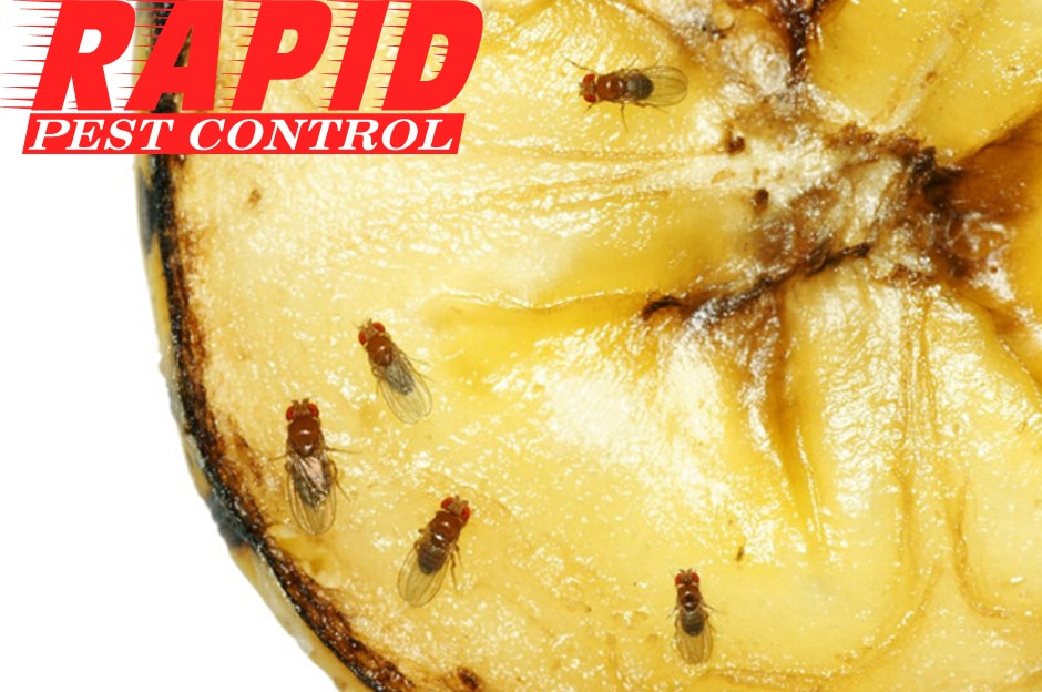 Fruit Flies Control London Ontario – Fruit Flies Removal London Ontario