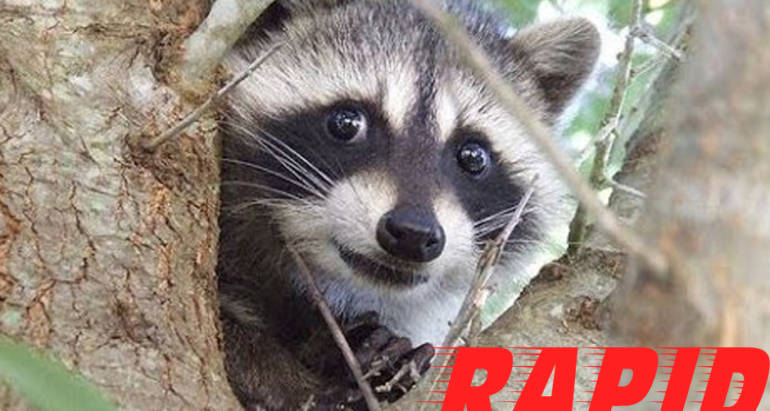 Raccoon Control London Ontario – Raccoon Removal London Ontario