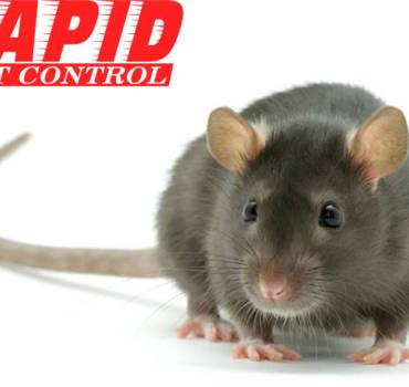 Rats Control London Ontario – Rats Exterminator London Ontario