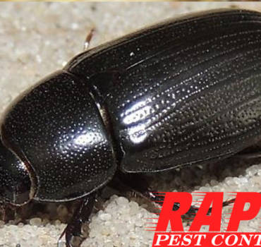 Rice Beetle Control London Ontario – Rice Beetle Removal London Ontario