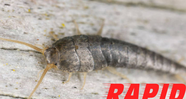 Silverfish Bug Control London Ontario