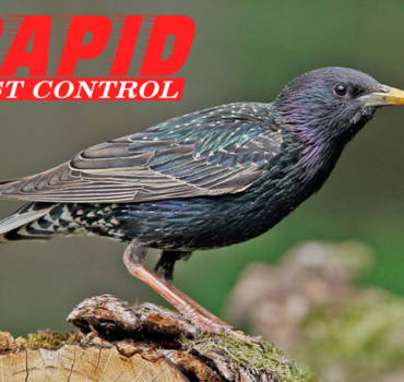 Starlings Control London Ontario – Pest Control London Ontario