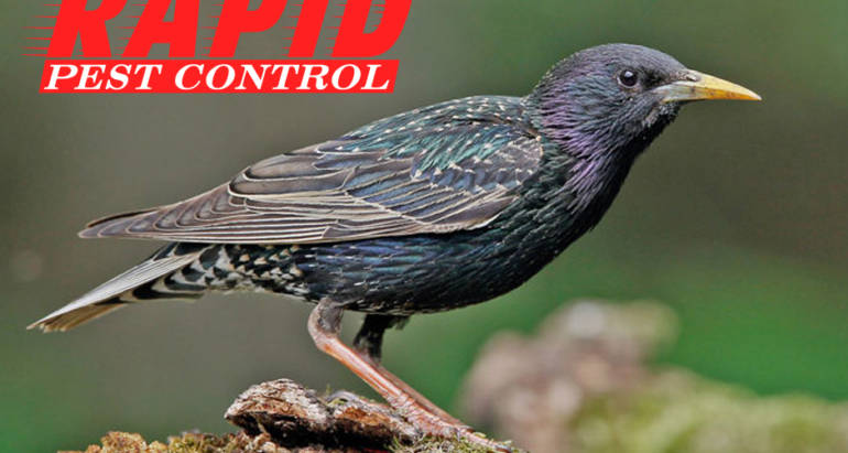 Starlings Control London Ontario – Bird Control London Ontario