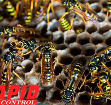 Wasps And Hornets Control London Ontario