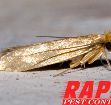 Webbing Cloth Moth Control