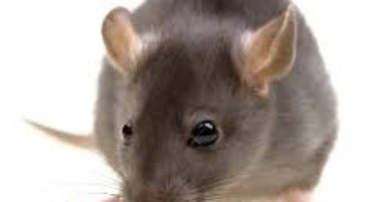 The Effects of Rodents in your house – pest control london ontario
