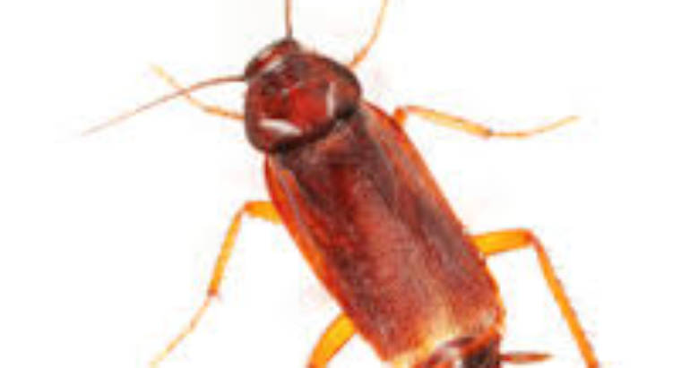 Why cockroach Control is necessary – London ontario pest control