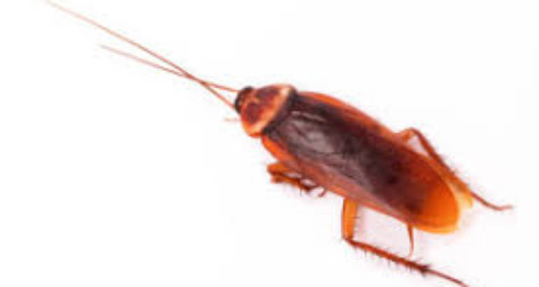 Effective Cockroach Manage Can Help Resolve Your current Roach Problems
